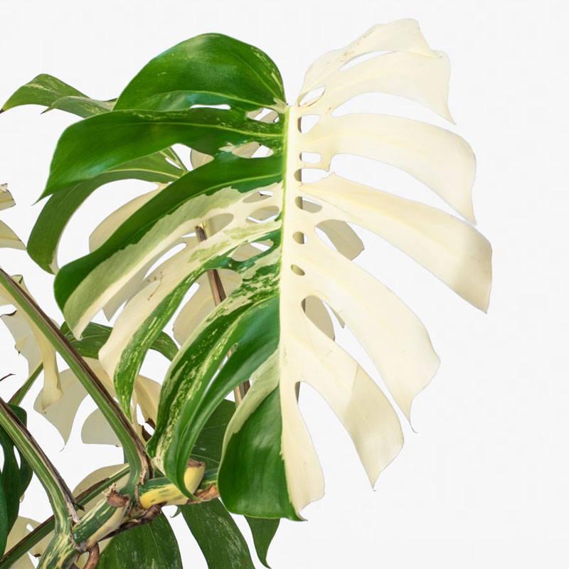 Varigated Monstera Leaf