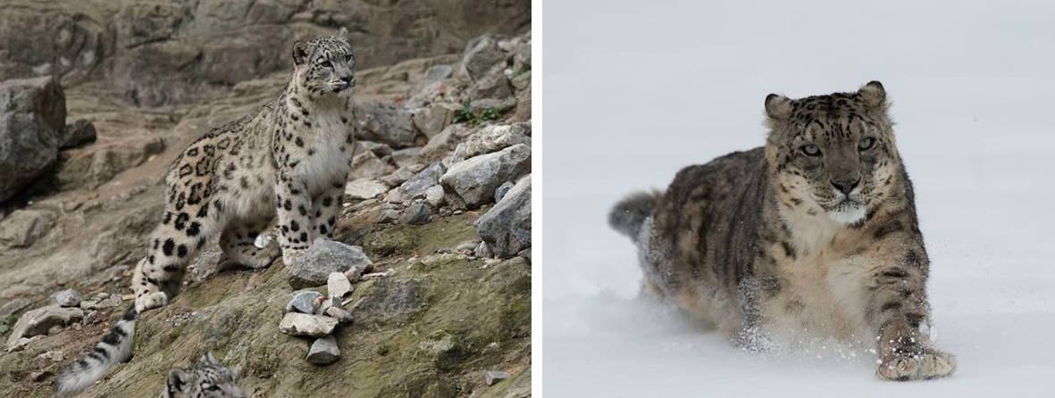 Snow Leopard of Leh India Wildlife photography tour and expeditions