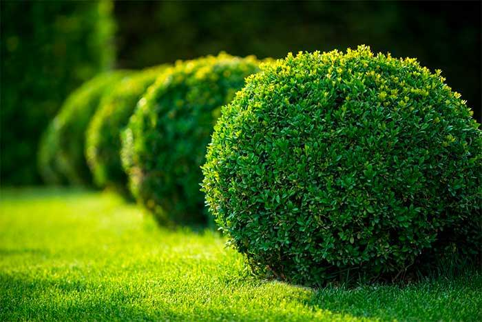 How to Care for Evergreen Shrubs