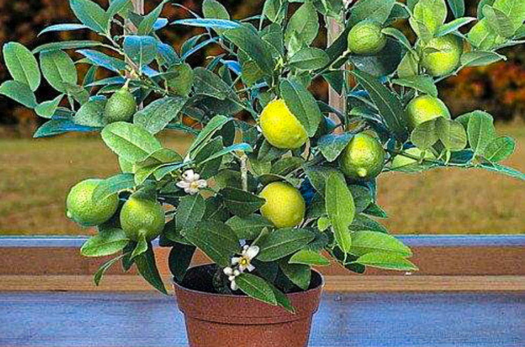 key-lime-tree