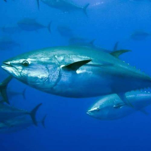 Southern Blue Fin Tuna
