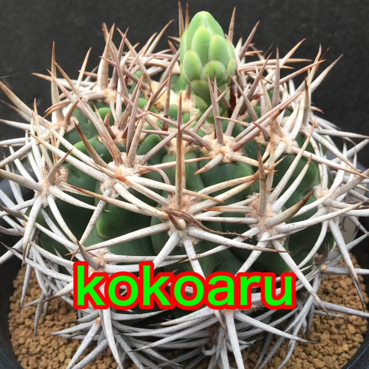 kokoaru