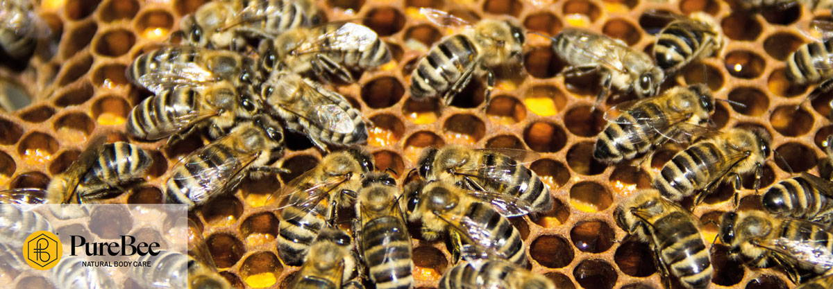Honeybees on a beeswax honeycomb