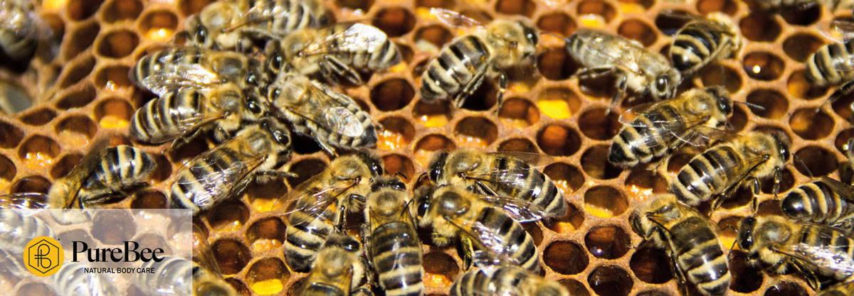 Honigbienen auf einer Wabe aus Bienenwachs