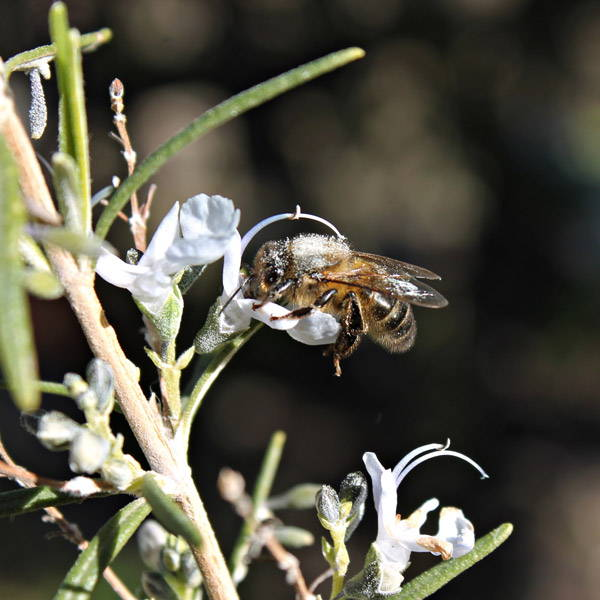 A bee sucking nectar our of a rosemary blossom