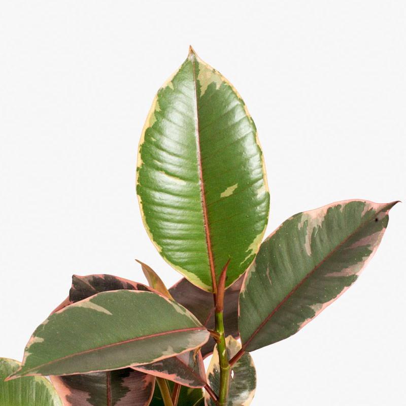 Ficus Elastica Ruby Leaf