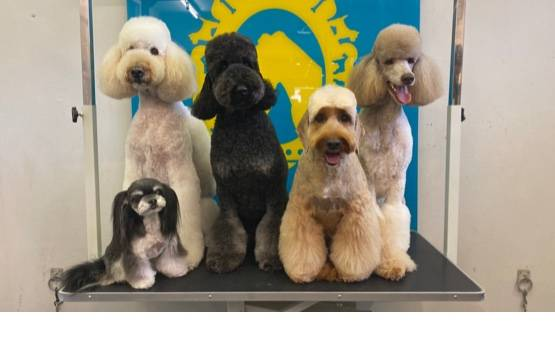 Bone Idol Academy | Getting Qualified | Asian Fusion | Dog Grooming