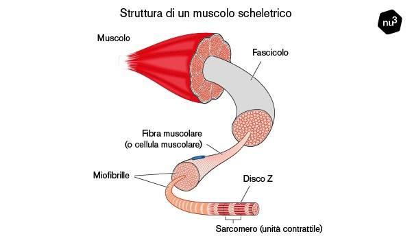 Struttura di un muscolo scheletrico