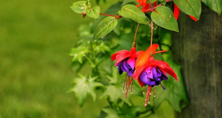 Fuchsie, eine elegant blühende Pflanze