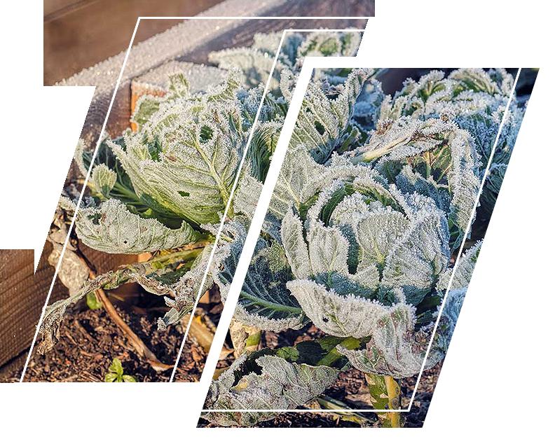 Plants freezing