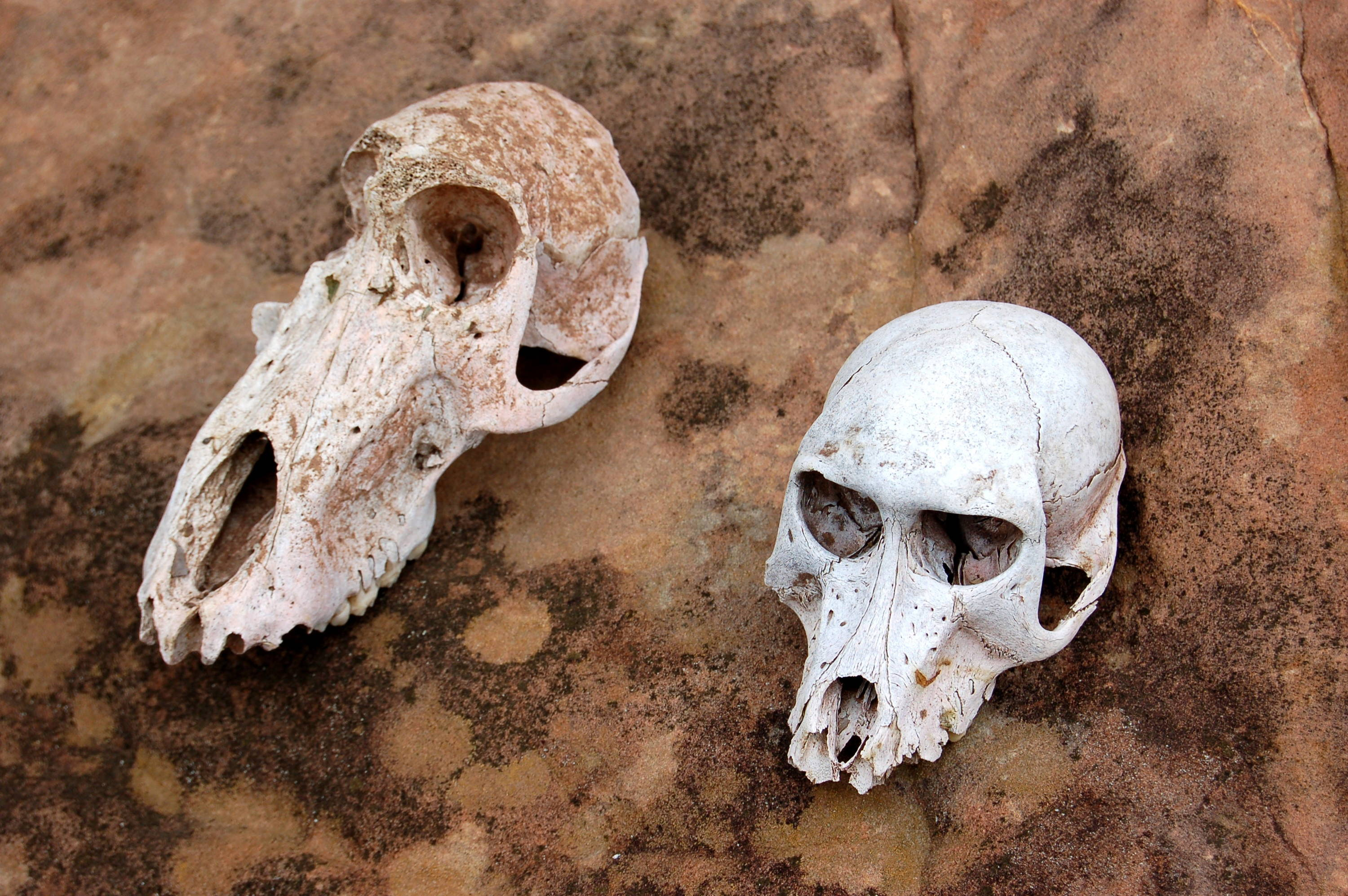 Two white animal skulls stand out against the brown rock they sit on
