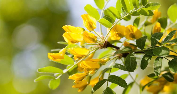 Pruning Siberian Pea Tree