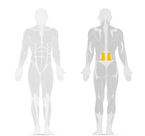 Rappresentazione del muscolo addominale M. quadratus lumborum