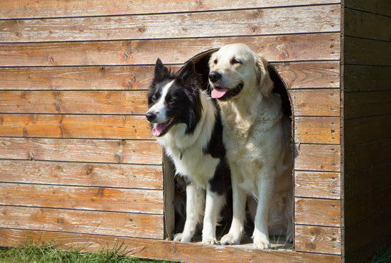 Golden Retriever and a Border collie sitting in a dog house made of wood