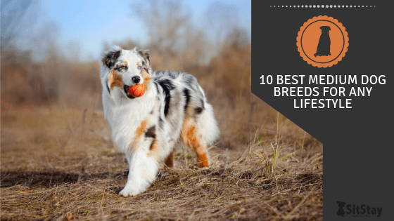 10 Best Medium Dog Breeds for Any Lifestyle