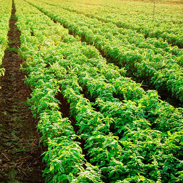 High Quality Organics Express plants in the field after crop rotation