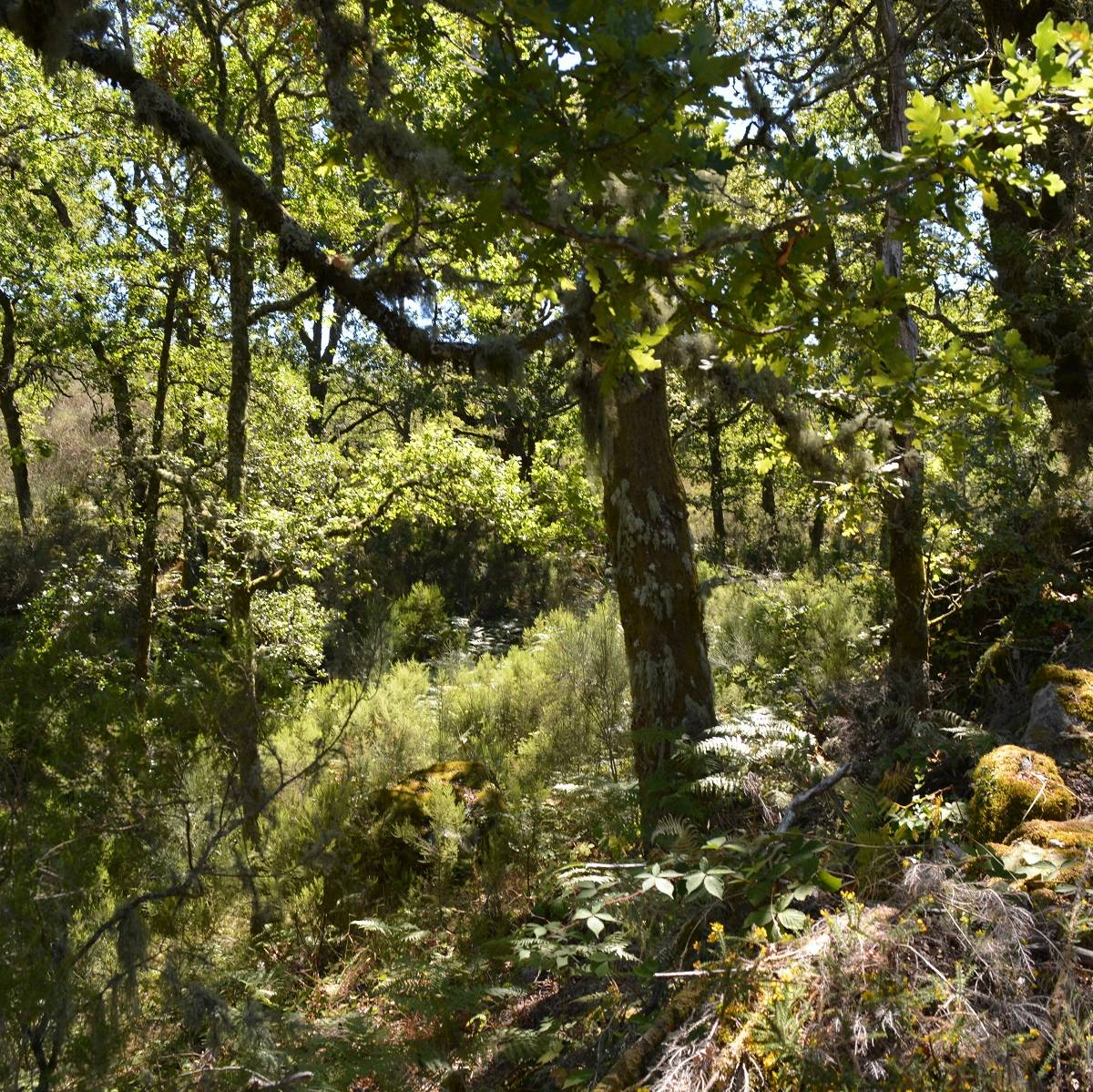 A native oak woodland in Portugal