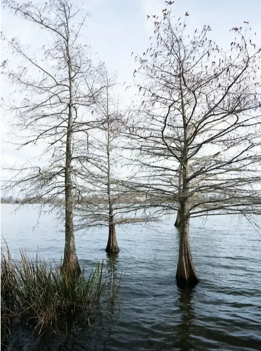Cypress Trees in Lake Bruin near St. Joseph, LA
