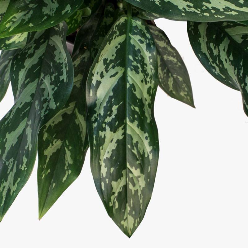 Aglaonea Maria Leaf