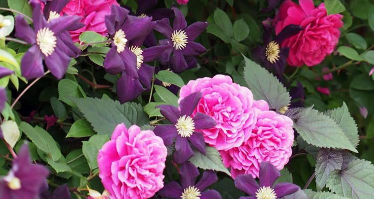 Rosen und Clematis kombinieren