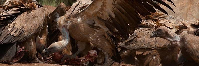 A vulture feeding frenzy