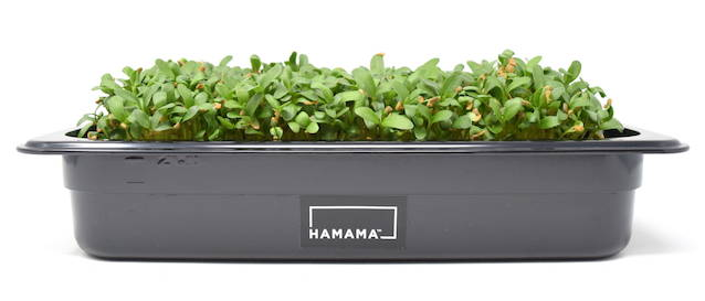 Fully grown homegrown fenugreek microgreens in a grow tray.