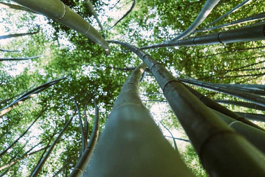 bamboo forest in Vietnam