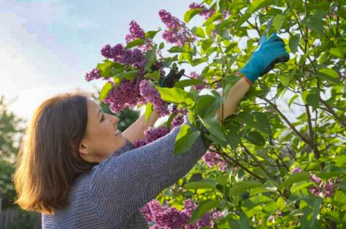Prune Flowering Shrubs