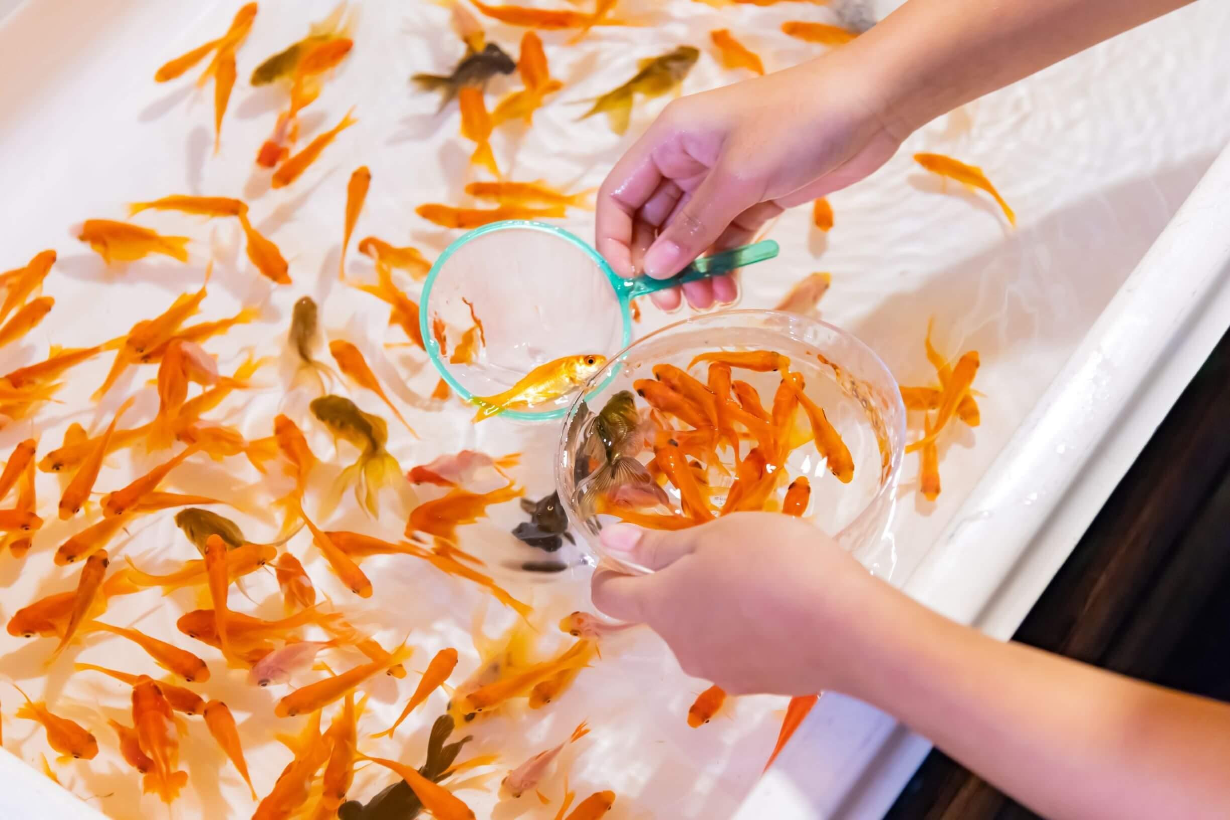 goldfish scooping in Japan