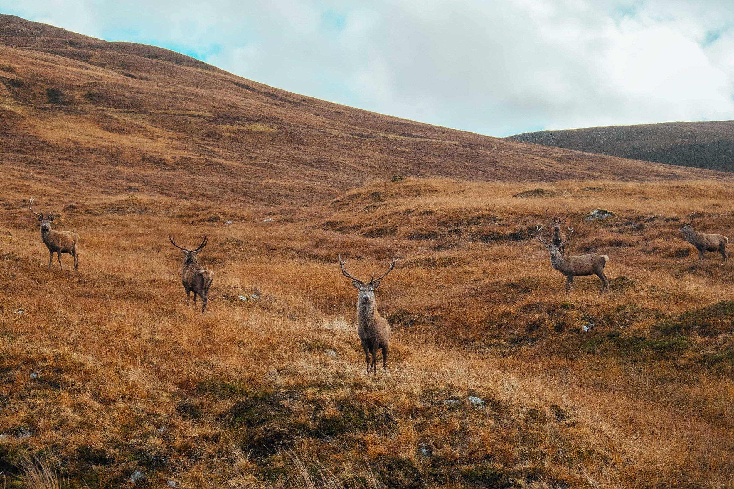 A herd of red deer stags stand amongst the orange heather and grass in autumn