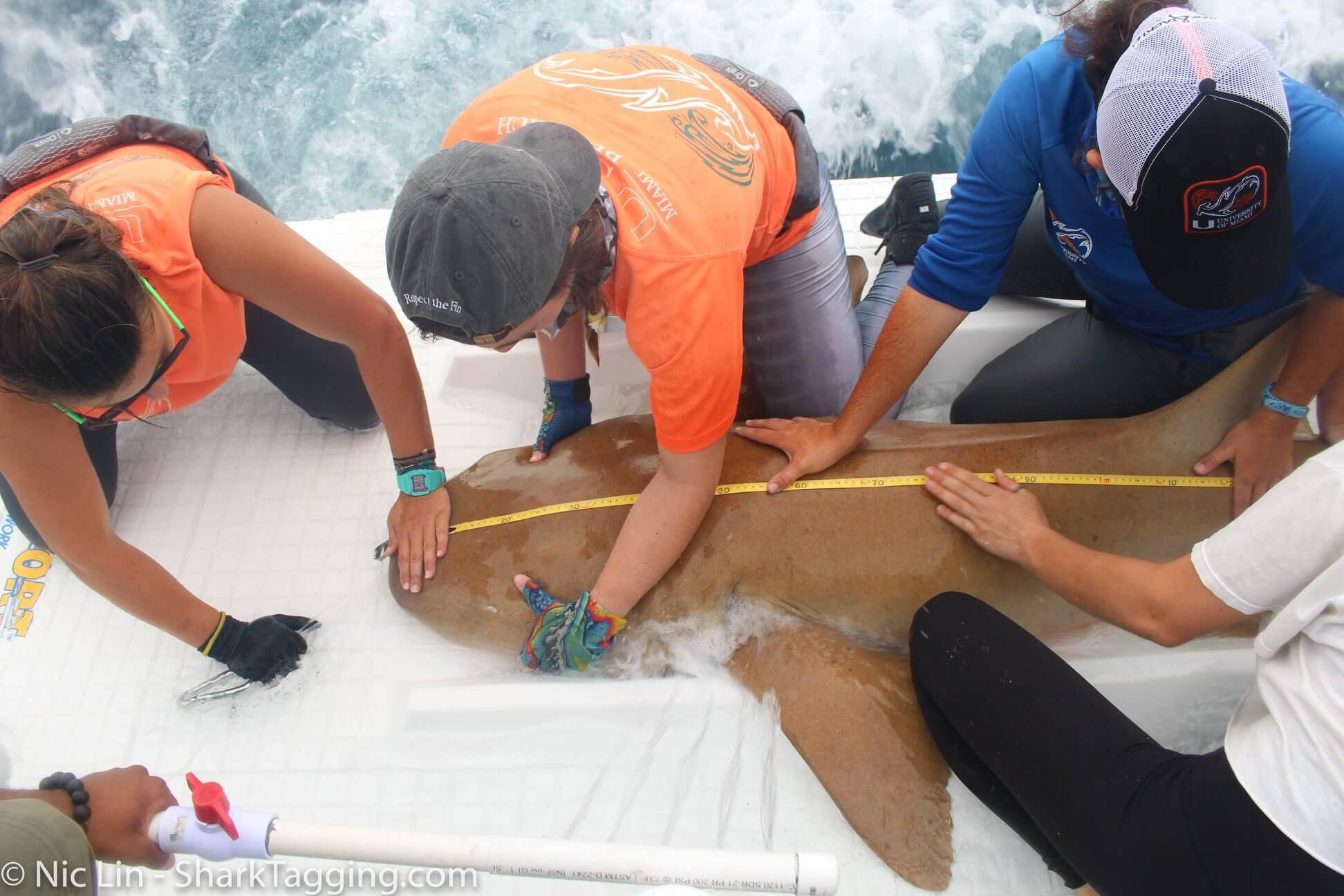 Four people help to secure and measure the length of a nurse shark during an SRC scientific workup.