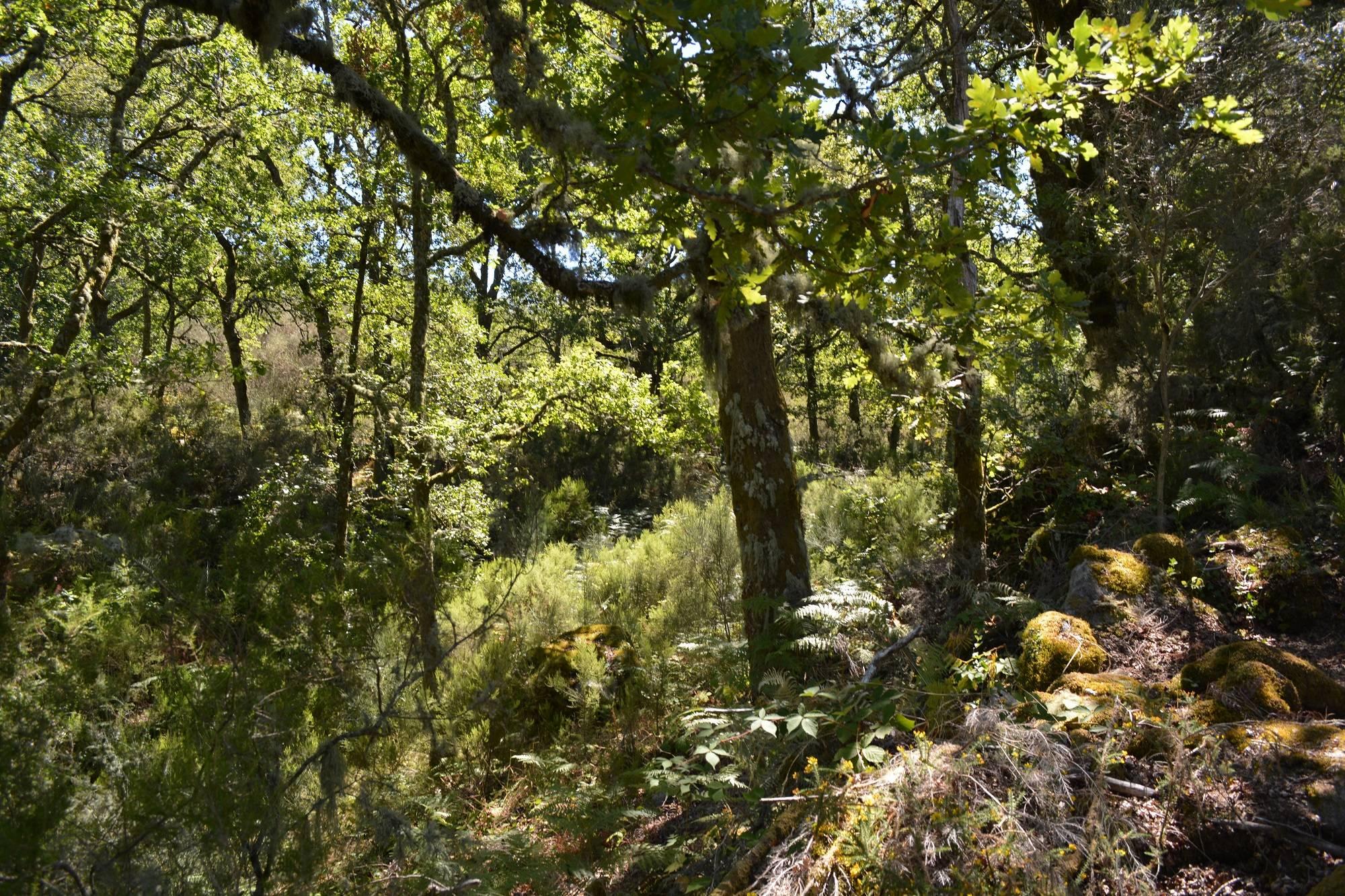 A dense oak woodland