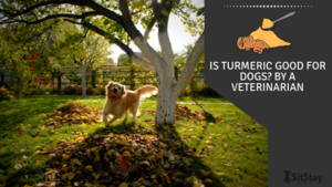 Is Turmeric Good For Dogs? By A Veterinarian