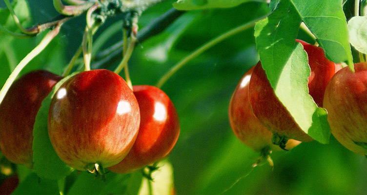Pruning Ornamental Apple