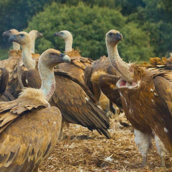 A venue of Griffon vultures in the north of Portugal
