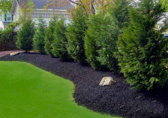 leyland cypress hedge