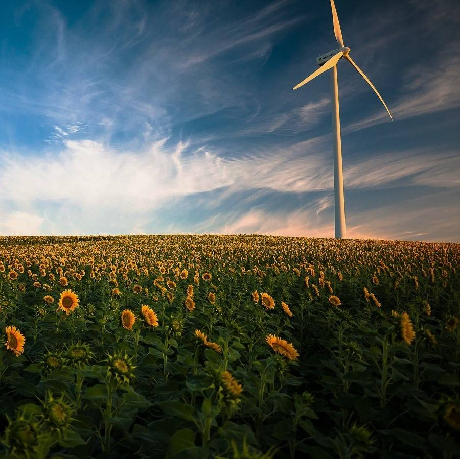 A wind turbine stands in a field of sunflowers