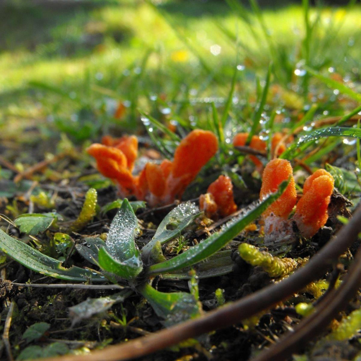cordyceps militaris mushroom