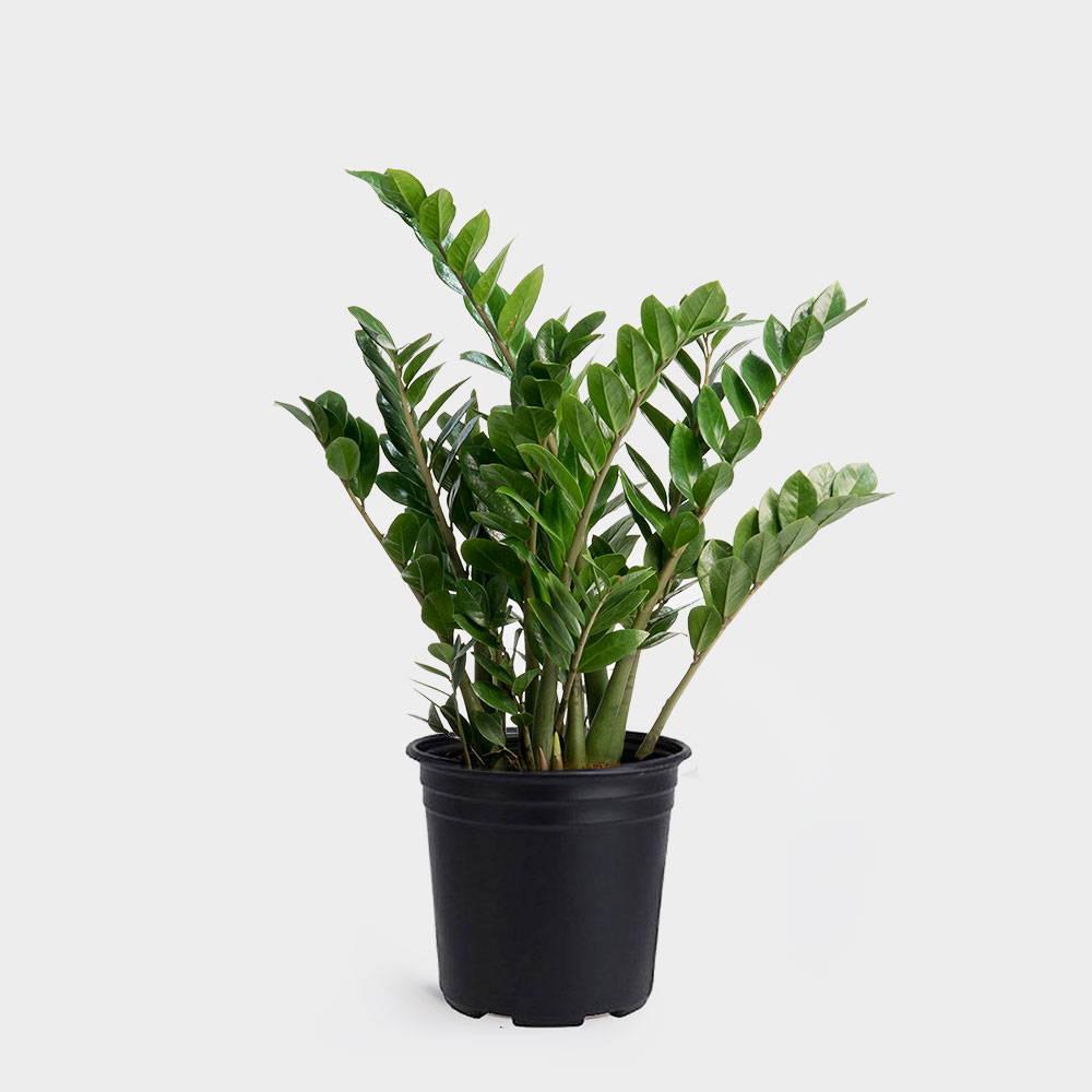 ZZ Plant(Zamioculcas zamiifolia) Care