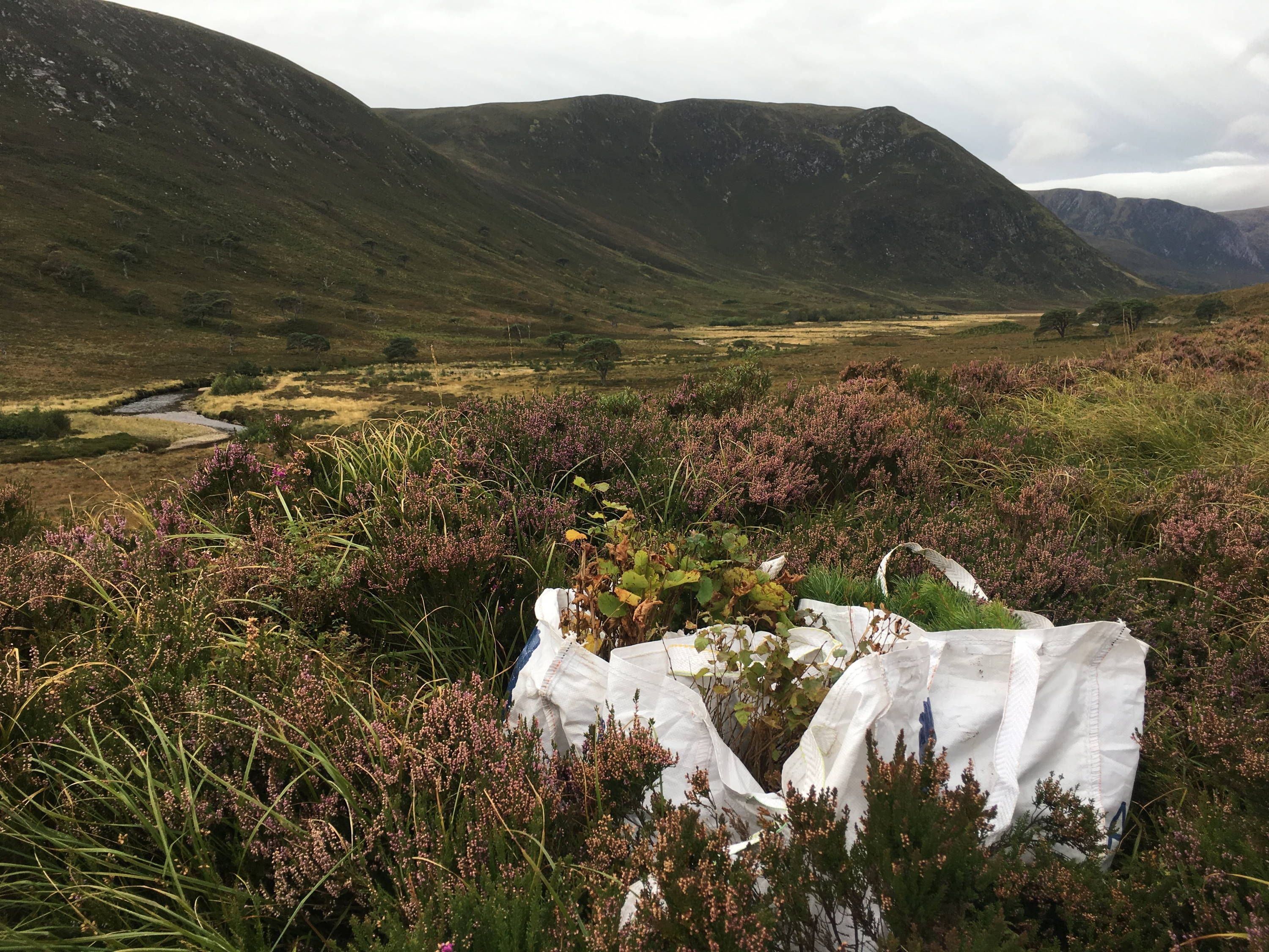 Bags of saplings of a variety of spaces lie waiting among the blooming heather to be planted