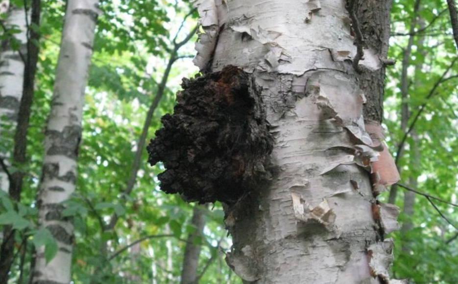 Maine Birch tree with chaga mushroom