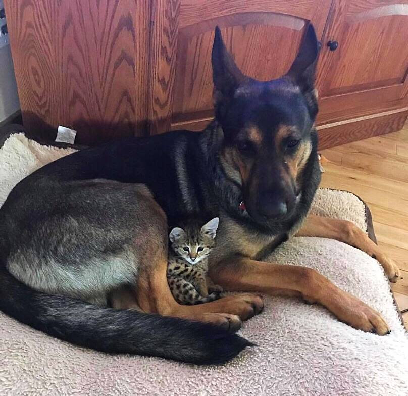 german shepherd dog cuddling with kitten