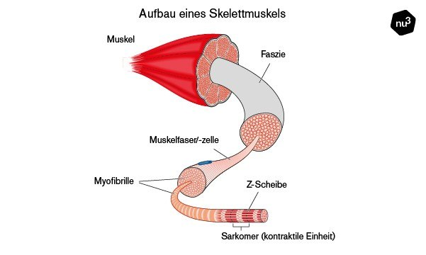 Aufbau eines Skelettmuskels