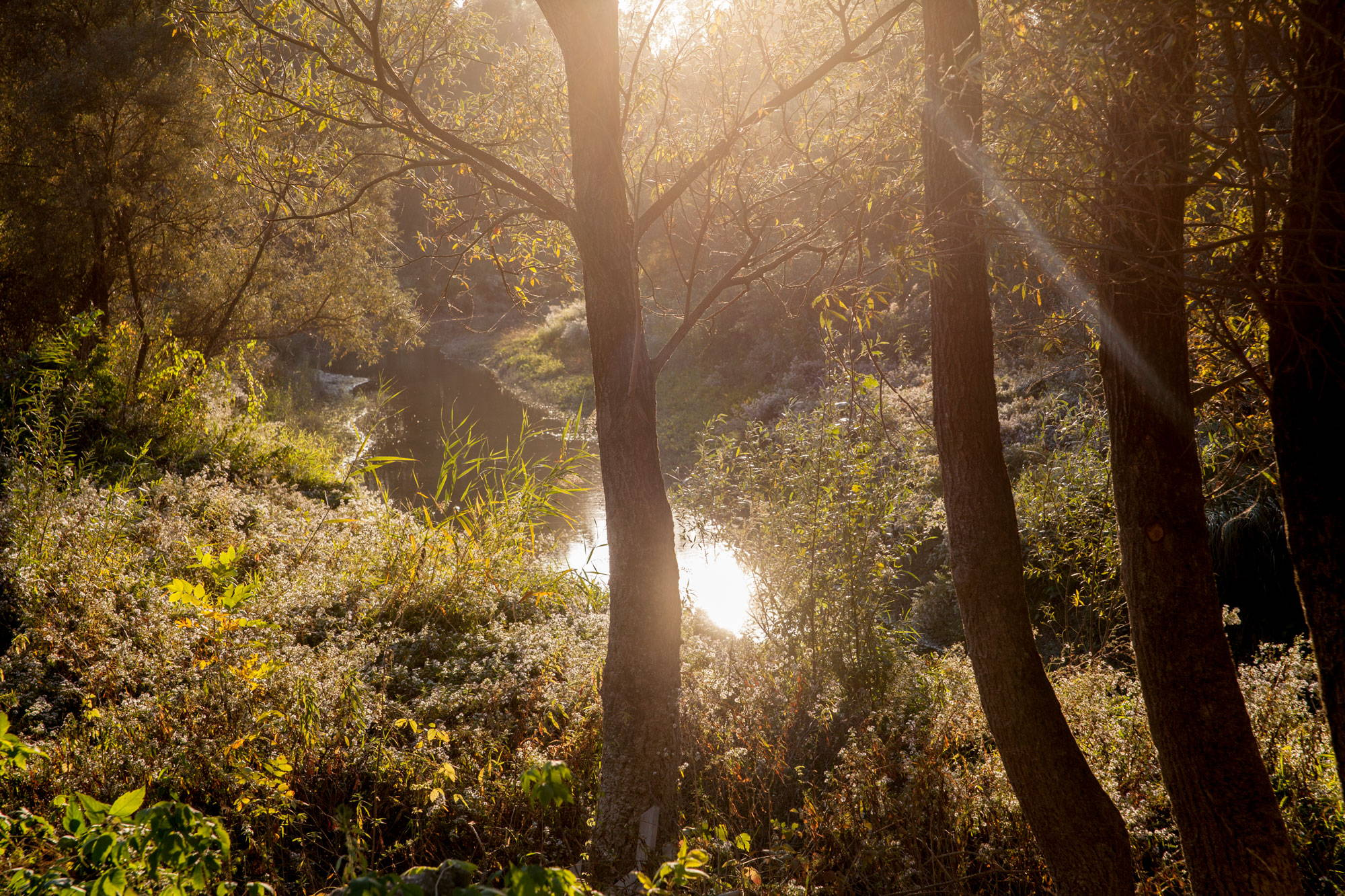 A lush floodplain forest with thrive undergrowth and a stream running through at golden hour