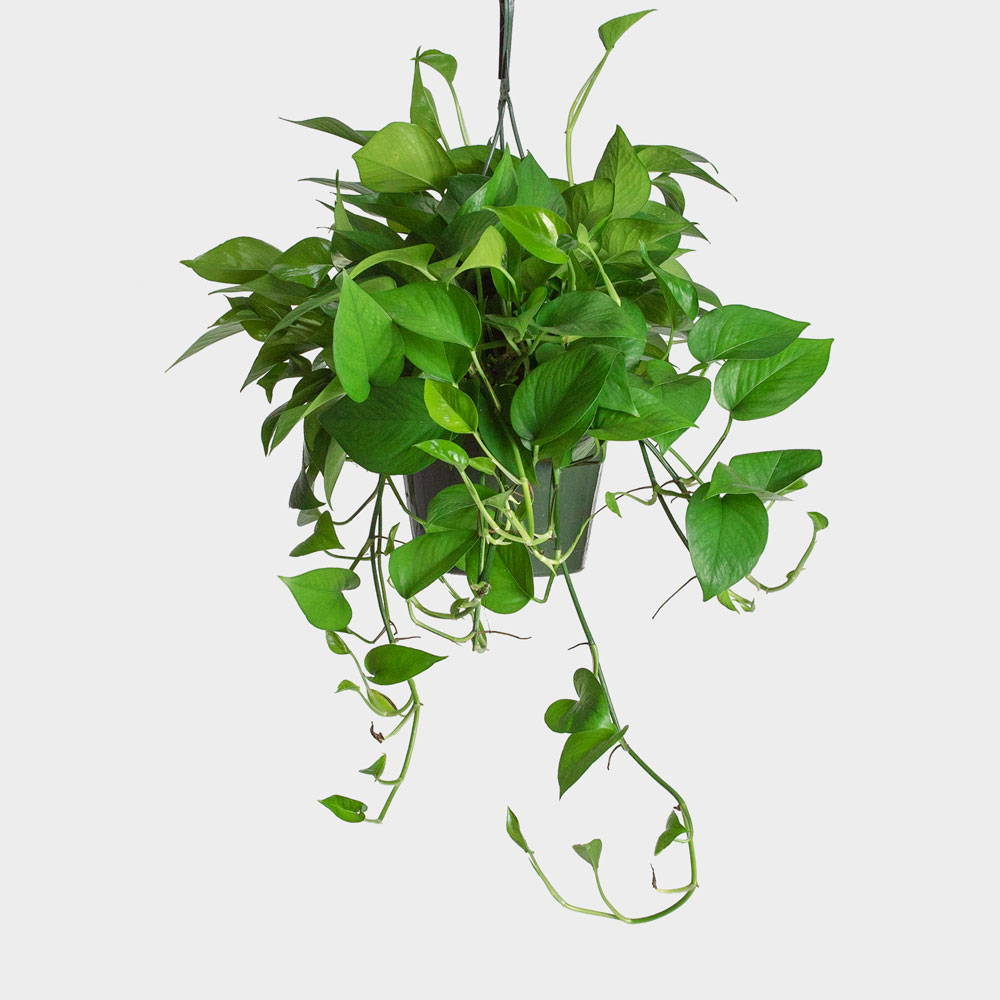 Pothos Plant Care Guide