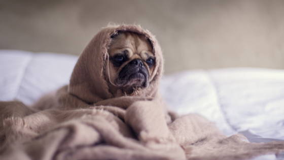 a small pug wrapped in a blanket on a bed