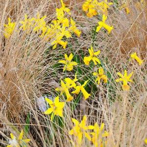 Daffodils & ornamental grasses
