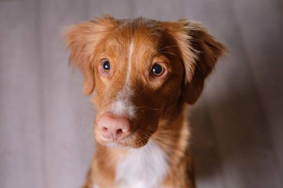 A brown dog looking at the camera