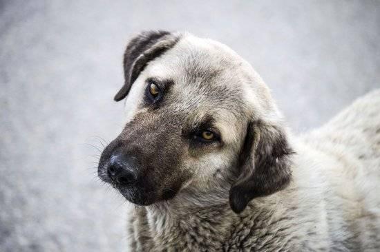 A grey and black dog looking at the camera