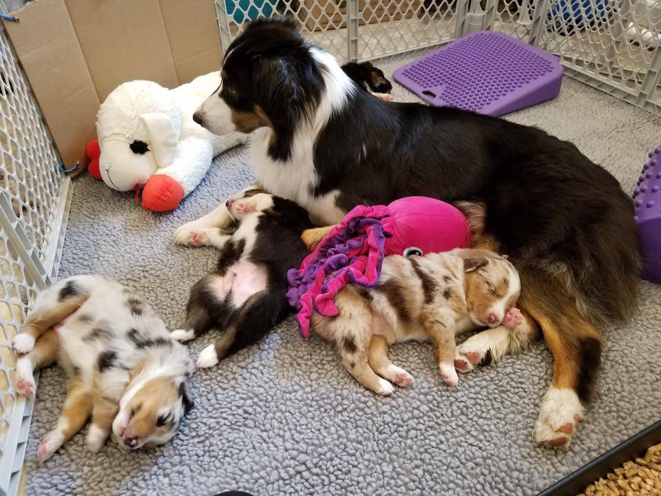 litter of australian shepherd puppies sleeping with mom